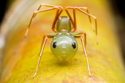 Amyciaea albomaculata ant-mimicking crab spider.