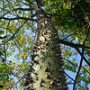 Tree I<br /> silk floss tree (Chorisia speciosa)