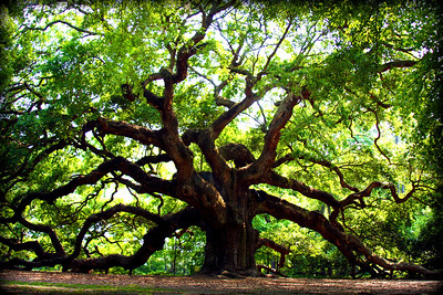 The Angel Oak Tree on John's Island, SC