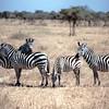 zebrafamily03lores