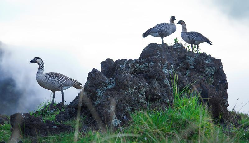Nene in Haleakala