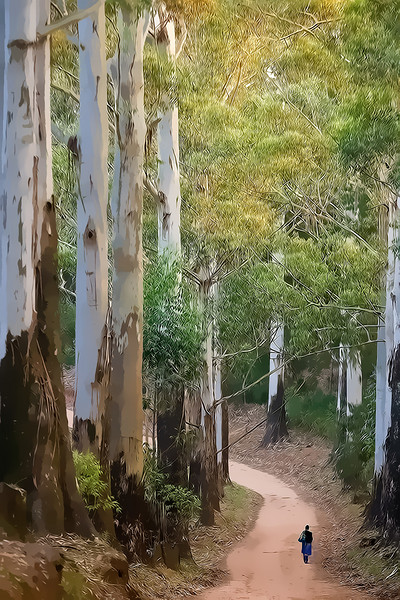 Giant Gum Trees line a drive near Molemanskhoek, South Africa.