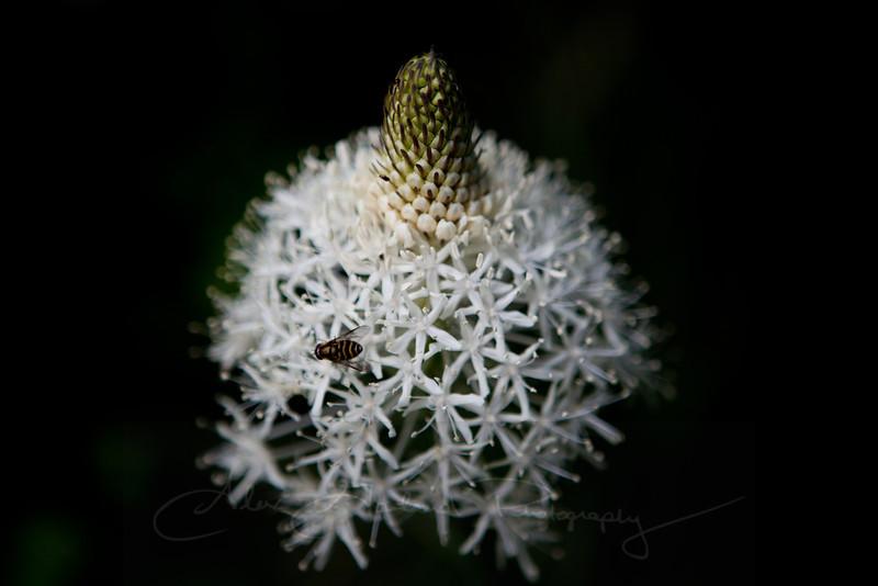 Xerophyllum tenax and Syrphus ribesii