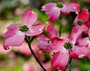 Pink Dogwood  11x14