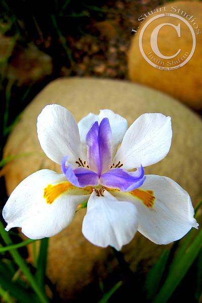 White Iris (Canon S90)