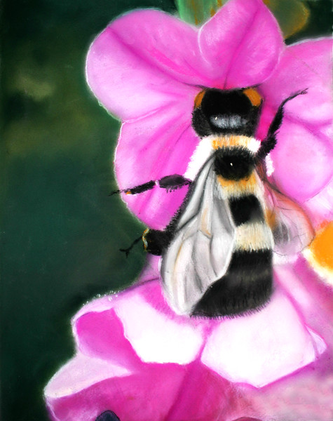 """Bumblebee enjoyng nectar"" Pastel 3 out of 5 for Body of Work, Drawing III, by Nancy Ann 4/2013"