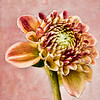 Partial Zinnia in Pink