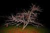 APPLEWOOD TREE