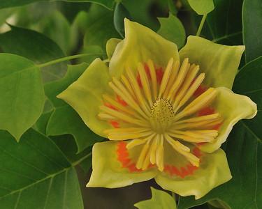 tulippoplar_013