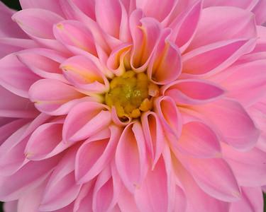 pinkdahlia_002