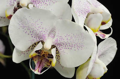 white_purpledots_orchid
