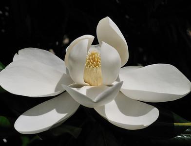 bright_magnolia