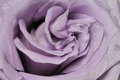 lavendar_rose_lit