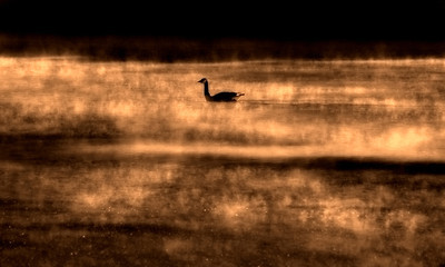 Canada Goose in fog. (By David Bundy)