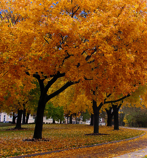 Orange Trees IMG_4590