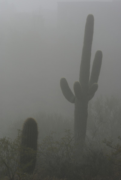 Saguaro in Fog, Tucson, Arizona