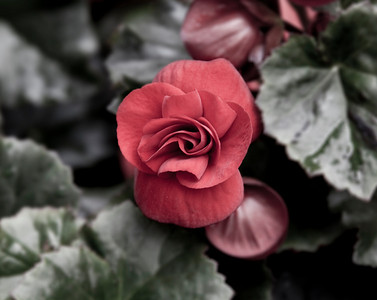 B&W, and red miniature flower