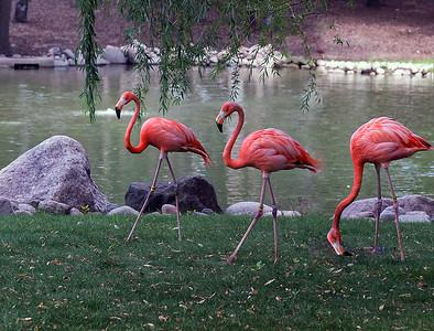3 Flamingos_CRW_7467