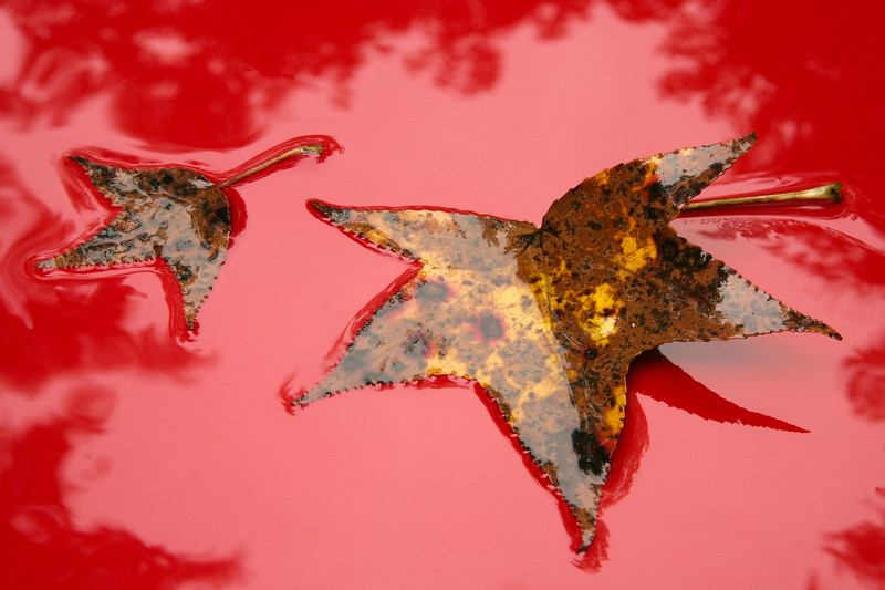 Wet Leaves on Red