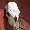 Cow Skull on Barn