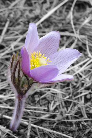 Alpine Pasqueflower (Pulsatilla)