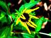 budding brown-eyed susan