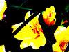 neon goldenlillies