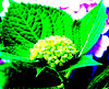 hydrangea buds up close and personal