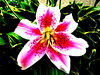 super real pink and white lilly