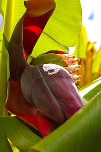 Banana Blossom 2