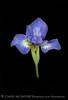 Blue Japanese Iris on Black 13x19 copy