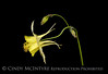 Yellow Columbine Side view 13x19 copy