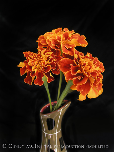 3 Marigolds 13x19 copy