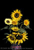 Sunflower Bouquet 13x19 copy