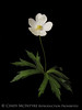 White Japanese Anemone 13x19 copy