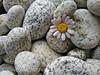 Daisy and Beach Stones copy