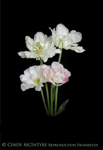 4 Peony Tulips on Black 13x19 copy