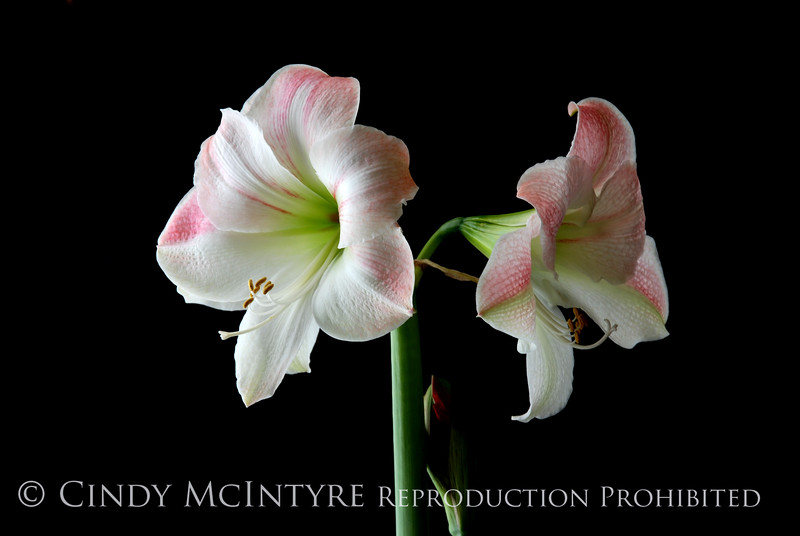 Blush Amaryllis 2 copy