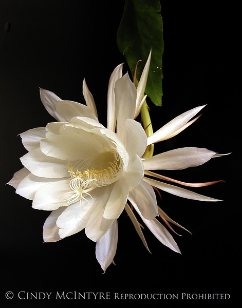 Cereus 2 copy