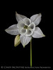 White Columbine 13x19 copy
