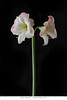 Blush Amaryllis 7x10 copy