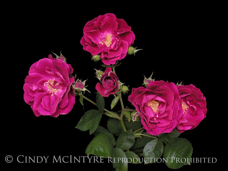 Rambling Roses 13x19 copy