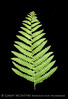 Fern on Black 13x19 copy