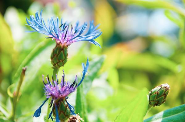 Some kind of blue flower