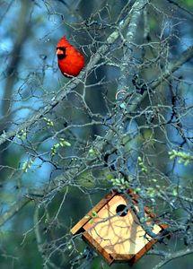 Cardinal at dusk