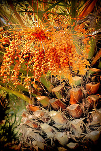 Southern California's contribution to fall color - palm fruit