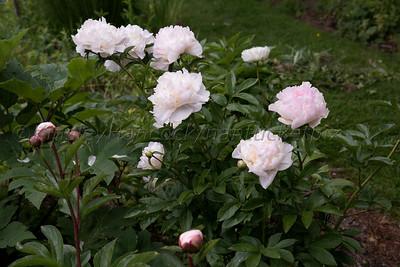 Cinda Gaynor's garden, Nantucket, MA