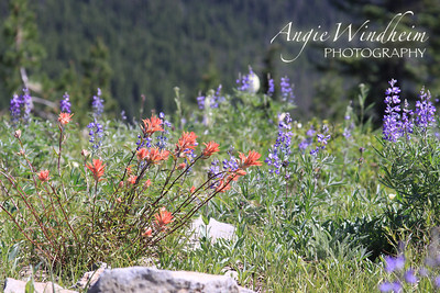 Indian Paintbrush (red/orange) and Lupines (purple) found on hike to Bonney Butte, Mt. Hood.