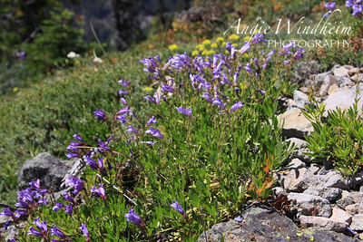 Azure Penstemon found on hike to Bonney Butte, Mt. Hood.