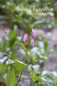 Few Flowered Shooting Star found in Bonney Meadows, Mt. Hood.